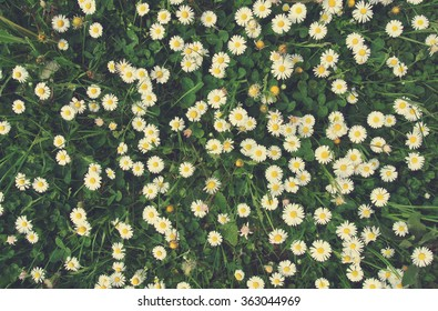 White and yellow chamomile flowers on green grass, shot from directly above. Image filtered in faded, retro, Instagram style; nostalgic, vintage spring concept. Floral texture.