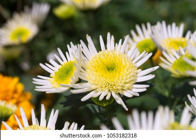 White and Yellow Chrysanthemum Flowers with Blur Background