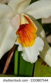 white and yellow coelogyne orchid isolated detail