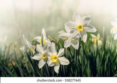 White and yellow daffodil flower outdoors in spring. Close-up