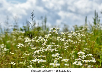 White and yellow daisies in the foreground in a green field with a partially cloudy sky.  Nantahala National Forest North Carolina USA