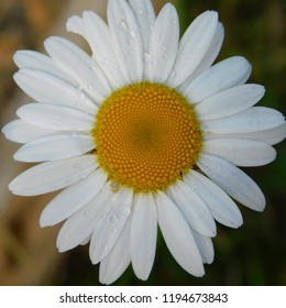 White and yellow daisies growing in August in the Appalachian mountains of Pennsylvania