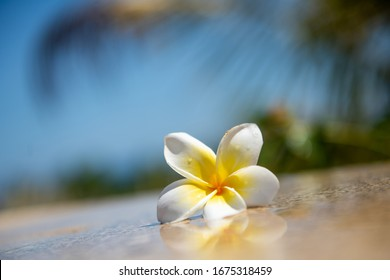 White yellow flower plumeria or frangipani on crystalline water. Spa meditation mood, plumeria or frangipani on peace nature. Spa and wellness background