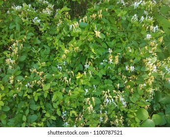 white and yellow flowers on honeysuckle plant