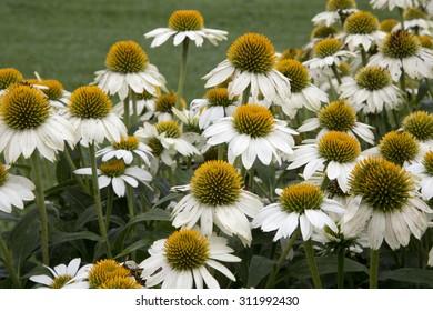 White and yellow flowers of plant - Echinacea - Alaska
