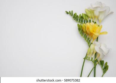 White and yellow freesia flowers white background