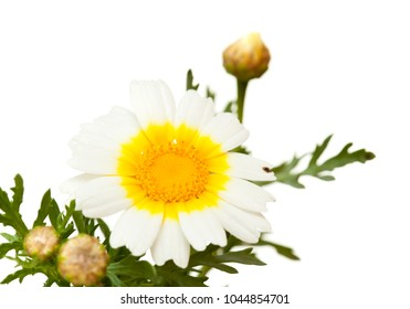 white and yellow garland chrysanthemum isolated on white