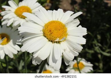 """White and yellow hybrid """"Shasta Daisy"""" flower in St. Gallen, Switzerland. Its Latin name is Chrysanthemum Maximum Alaska, breed of Leucanthemum and Maximum."""