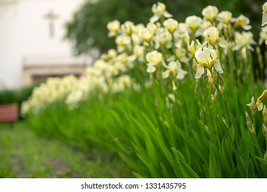 White yellow iris flowers blooming in spring at the church yard, summer seasonal floral background