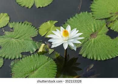 White Yellow Lotus flower and Lotus flower plants