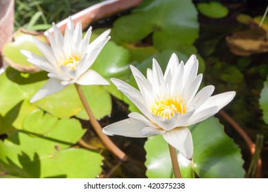 White Yellow Lotus flowers and Lotus flower plants