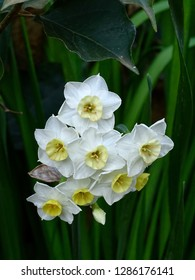 White and yellow narcissi flowers in southern Spain