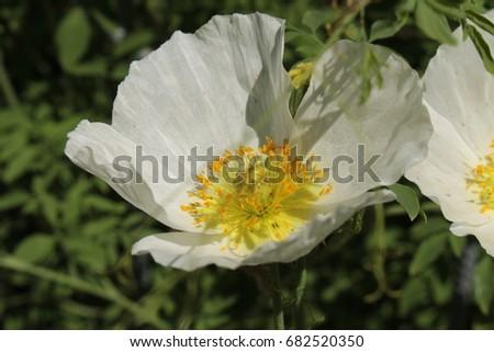 White Yellow Perennial Poppy Flower St Stock Photo Edit Now