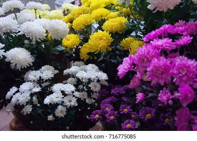 White, yellow  and pink chrysanthemum in a flower shop. A bouquet of chrysanthemums. Chrysanthemum Flower.