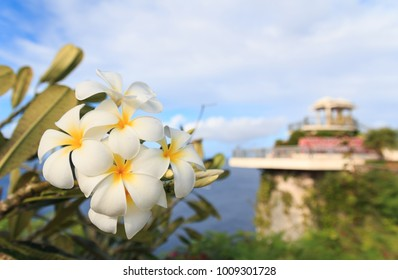 White and Yellow Plumeria blooming at Two Lovers Point in Guam, USA
