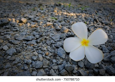 White and yellow plumeria flowers on floor.