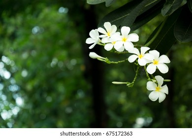White and yellow plumeria flowers on a tree with space background, Popular plant.