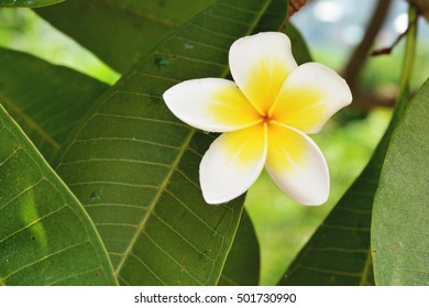 White and yellow Plumeria ( frangipani flowers ) in garden