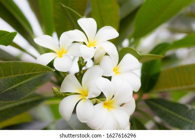 White yellow Plumeria on leaves background