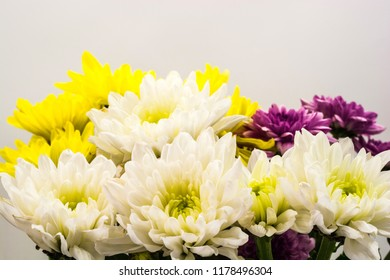 White, yellow and purple chrysanthemums on grey background. Close-up shot.