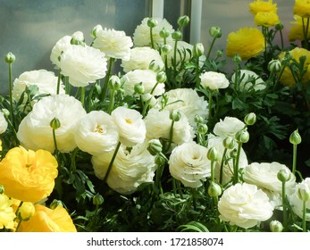White and Yellow Rananculus flora. A blossomed flower with detailed petals shot, potted plant