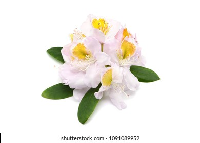 white yellow Rhododendron flower heads on white isolated background.