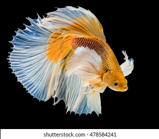 white & yellow siamese fighting fish on black background