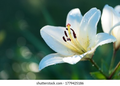 White yellow spring flowers of Regal lily, Liliaceae, Lilium regale