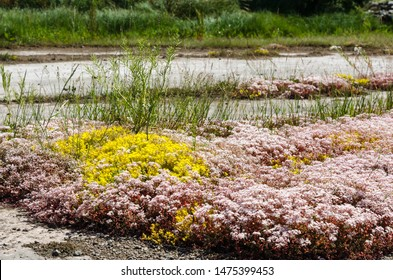 White and yellow stonecrop wildflowers growing on the ground at the swedish island Oland