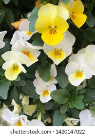 White and Yellow Tricolor pansy flowers  - viola blossom - viola tricolor