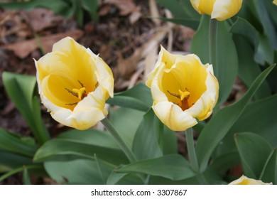white and yellow tulips