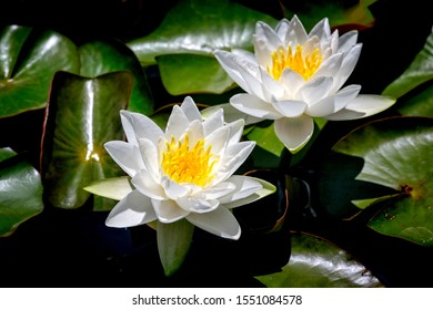 white and yellow water lilys in a pond