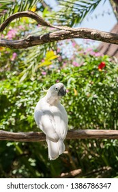 White yellow-crested cockatoo sitting in the garden on a tree branch