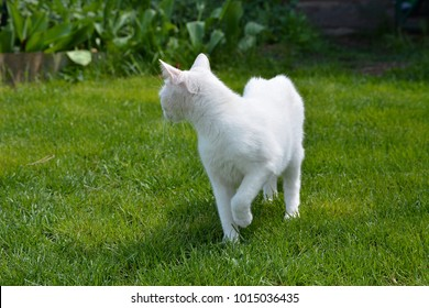 white young cat on a background of green grass