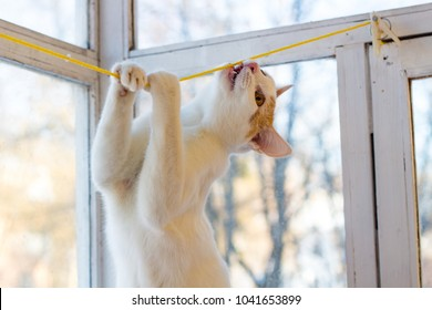White young cat playing with a clothesline
