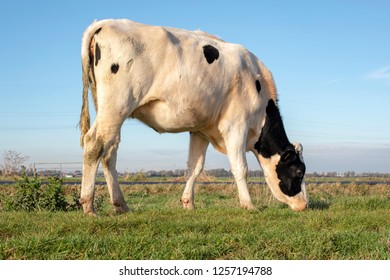White young cow with black spots, heifer, grazing on green grass in a meadow in Holland.