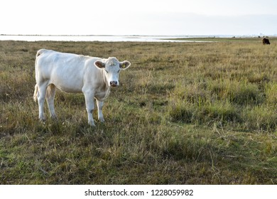 White young cow in a coastal grassland at the swedish island Oland