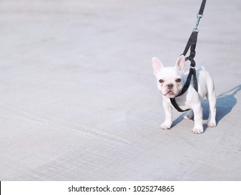 White young dog(french bulldog) with black leash walking on concrete road in afternoon.