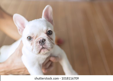 White young dog(french bulldog) in woman hands with defocus wood floor and copy space.