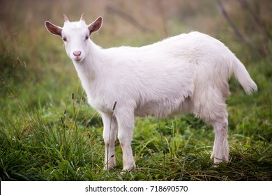 White young goat