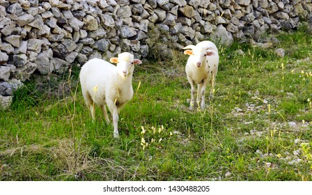 White young lambs on the pasture on the meadow with healthy herbs in front of the traditional dry stone wall on the Croatian Island of Pag