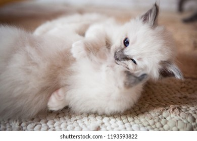 White young sacred birman kittens
