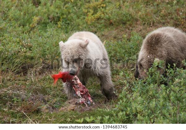 White young wild grizzly eating salmon at Kenai
