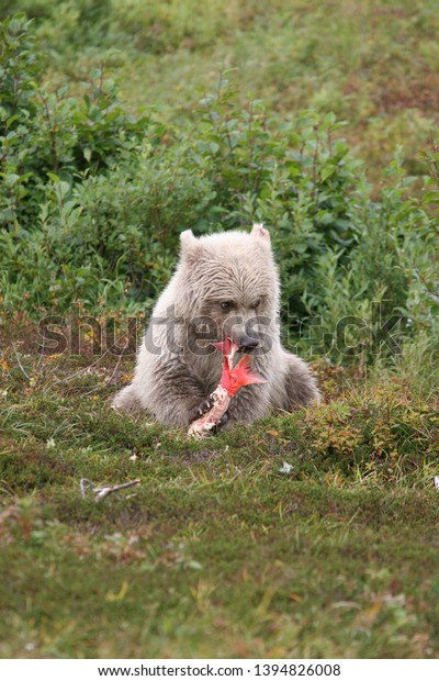 White young wild grizzly eating salmon at Kenai (Upright)