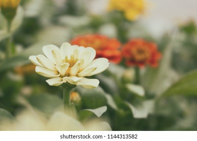White Zinnia, White flower and front blur and blur background. Film vintage filter.