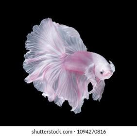 Whiteand Pink Platt Platinum Fish .White siamese fighting fish, betta fish isolated on black background.
