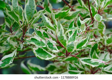 White-and-green leaves on red-stemmed plants