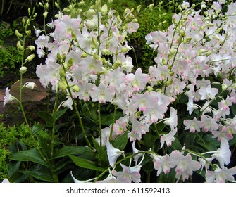 White-and-pink dendrobium orchid at the National Orchid Garden, Singapore