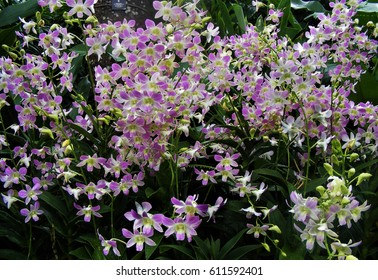 White-and-purple dendrobium orchids at the National Orchid Garden, Singapore