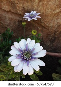 White-and-Purple South African Daisy